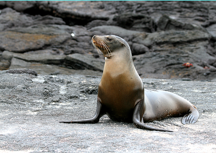 IMG_9294 Galapagos Sea Lion on laval shore - Rey Major Portfolio