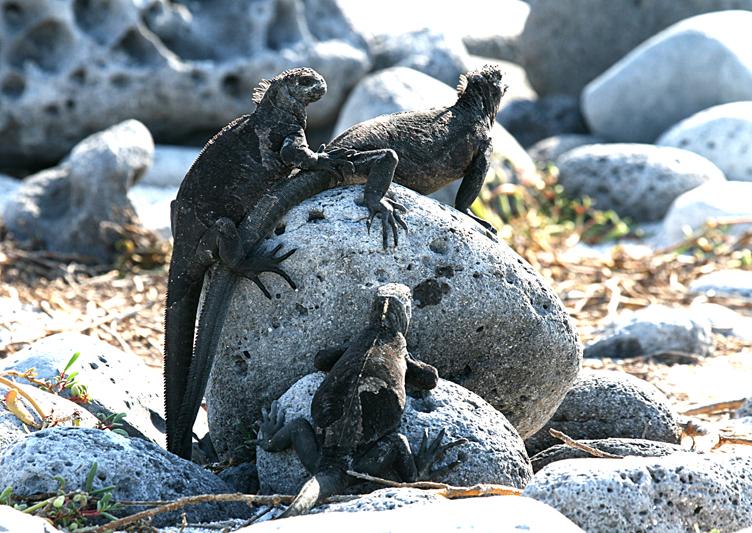 6325 Trio of Marine Iguanas - Rey Major Portfolio