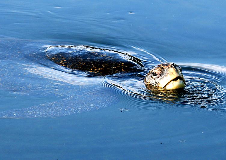 IMG_8336 Galapagos Green Turtle - Rey Major Portfolio