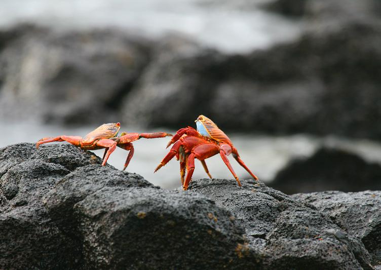 IMG_7954 Two Sally Lightfoot Crabs - Rey Major Portfolio