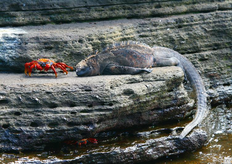 IMG_9812 Marine Iguana Sallylightfoot Crab - Rey Major Portfolio