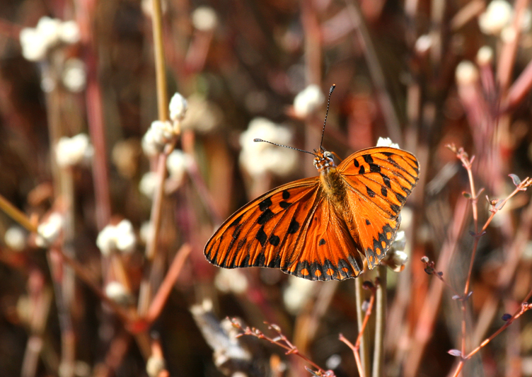 IMG_9759 Silver Fritillary Butterfly - Rey Major Portfolio
