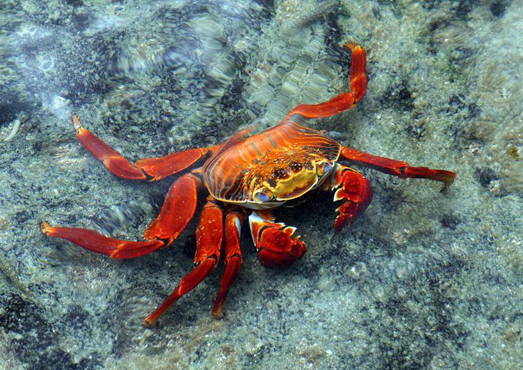 6739 Sally Lightfoot Crab - Rey Major Portfolio