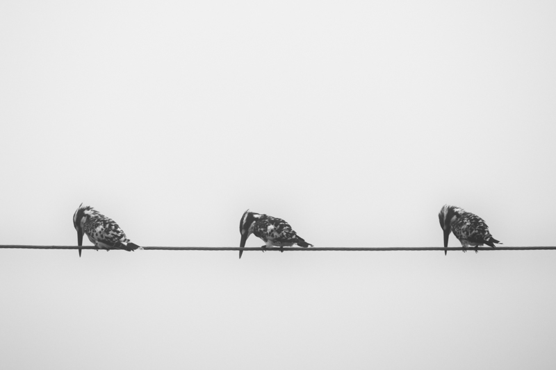 Three Kingfishers - Animality