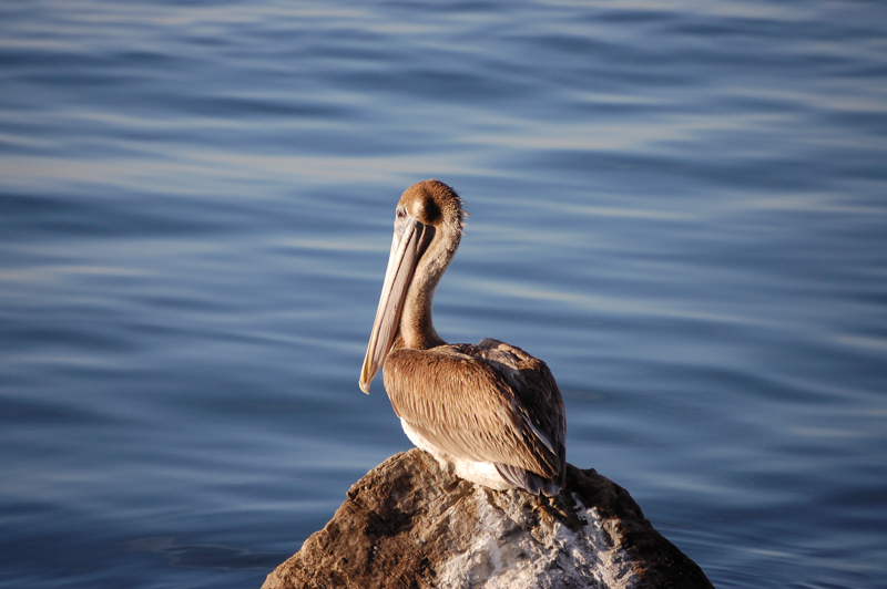 The Brown Pelican - Animality