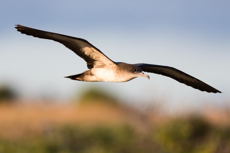 Wedge-tailed Shearwater - Animality