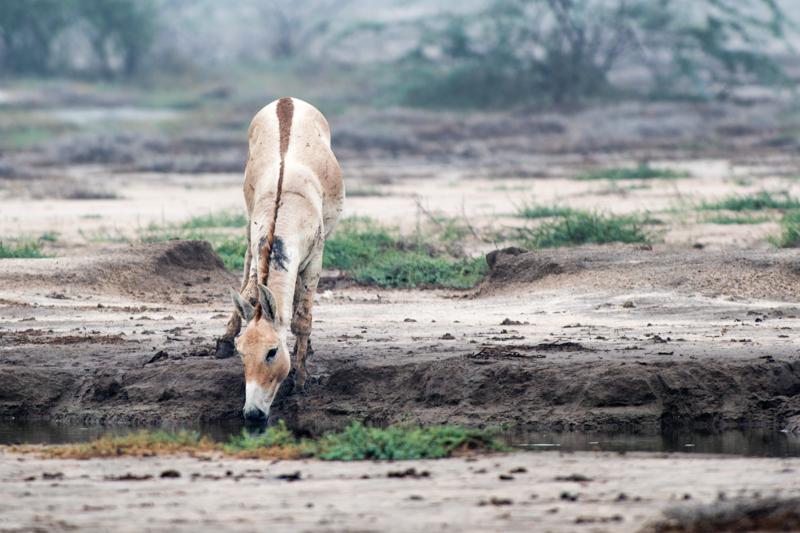The Indian Wild Ass (Equus hemionus khur) - Animality