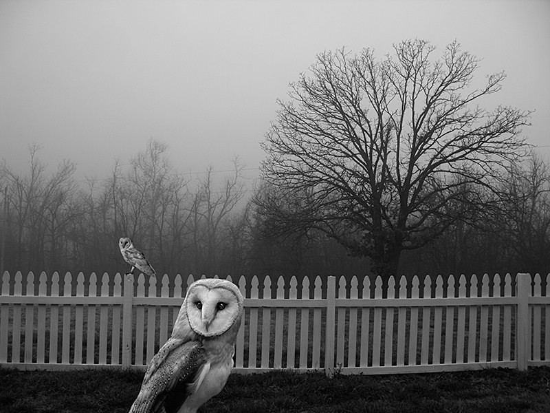 Barn Owls From the Woods - MEMORIES OF HOME