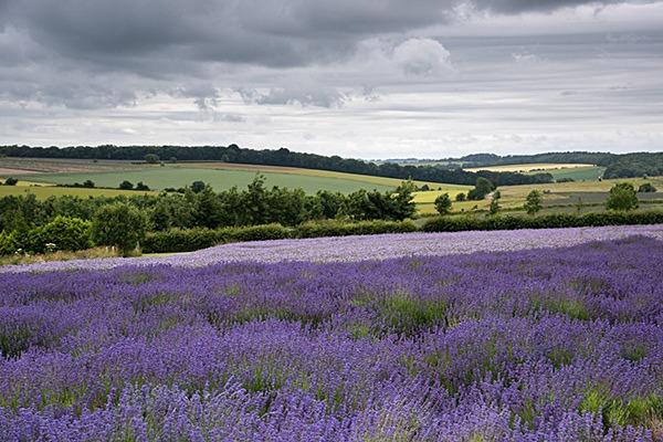 Lavender - Cotswolds