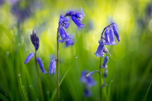 - Bluebells