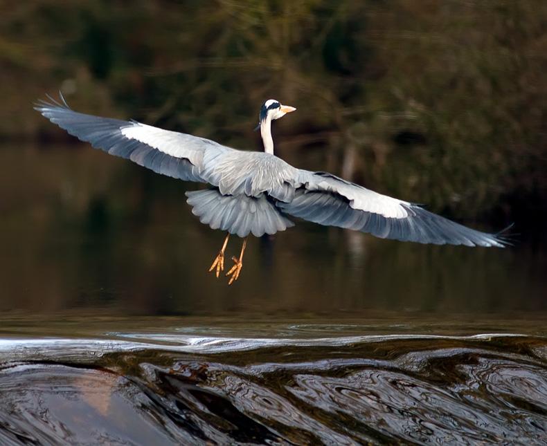 Grey Heron 5177 - Wildlife