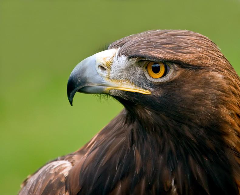 Golden Eagle - Birds in Captivity