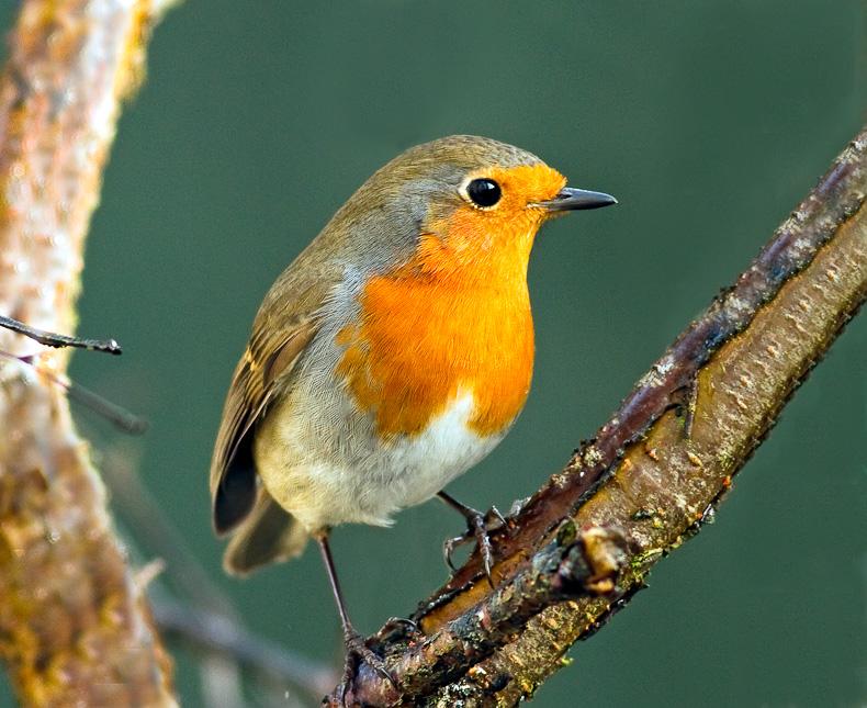Robin - Garden Birds