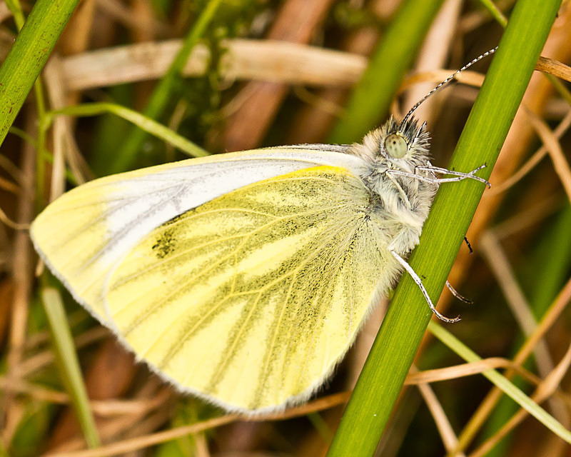 Green Veined White (female) - Macro Photography