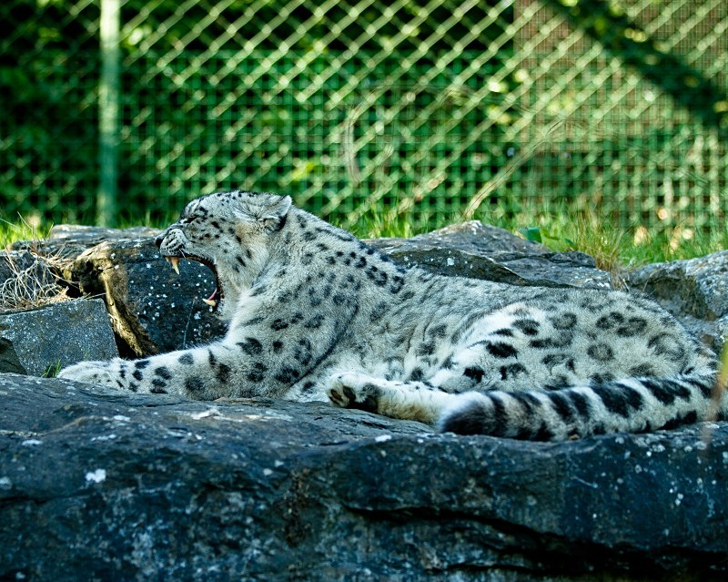 Snow Leopard - Animals in Captivity
