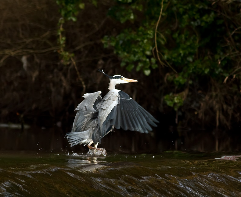Grey Heron 5182 - Wildlife