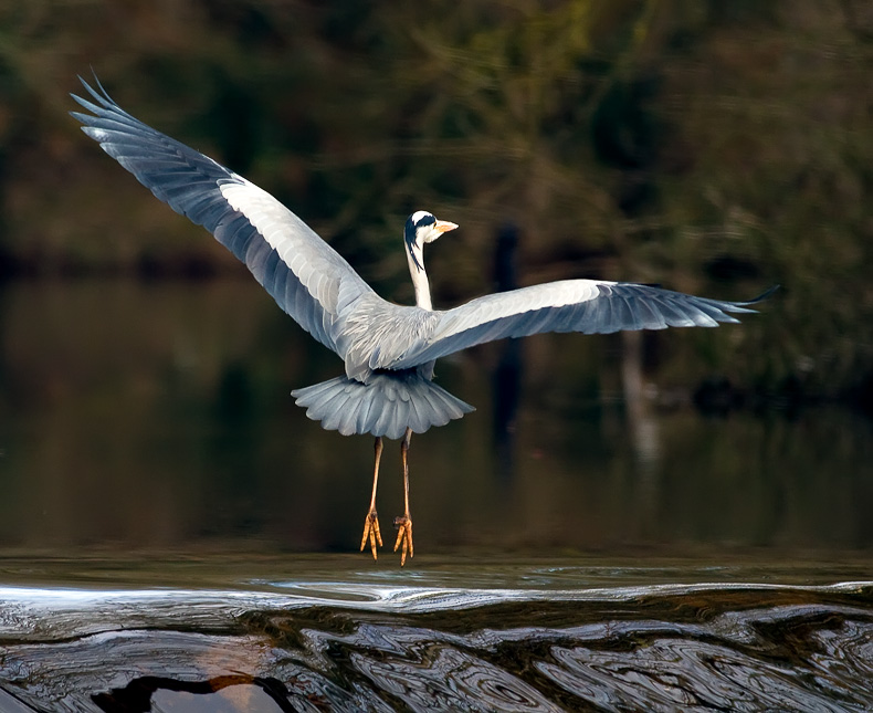 Grey Heron - Birds in Flight
