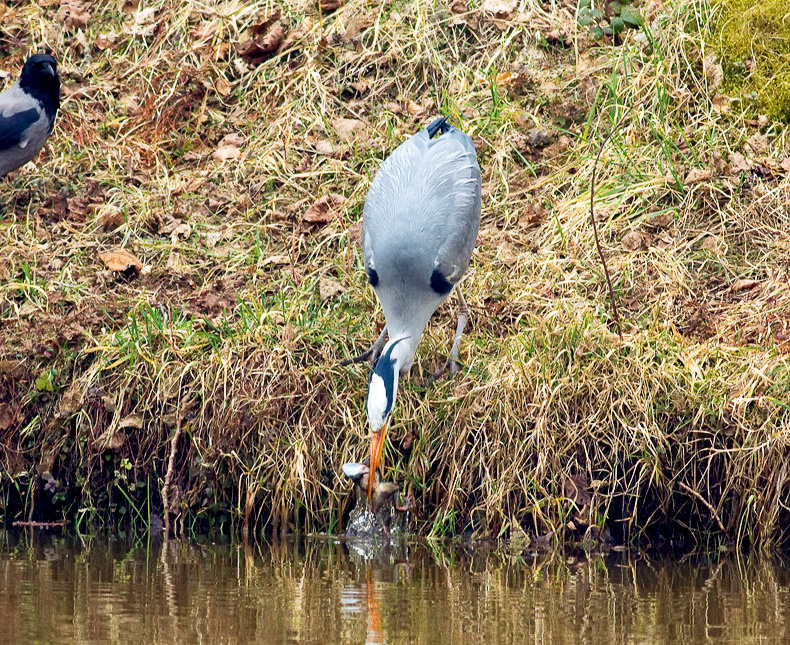 Grey Heron 6808 - Wildlife