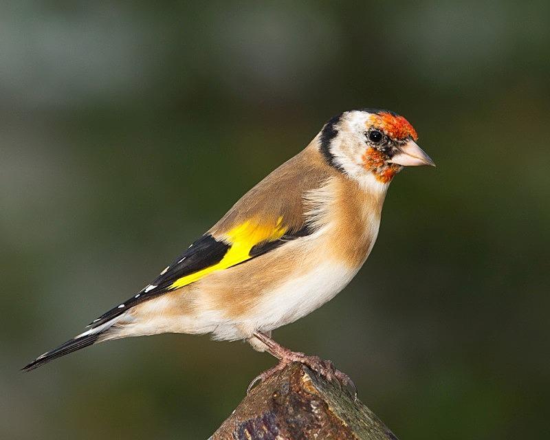 Goldfinch 1 - Garden Birds