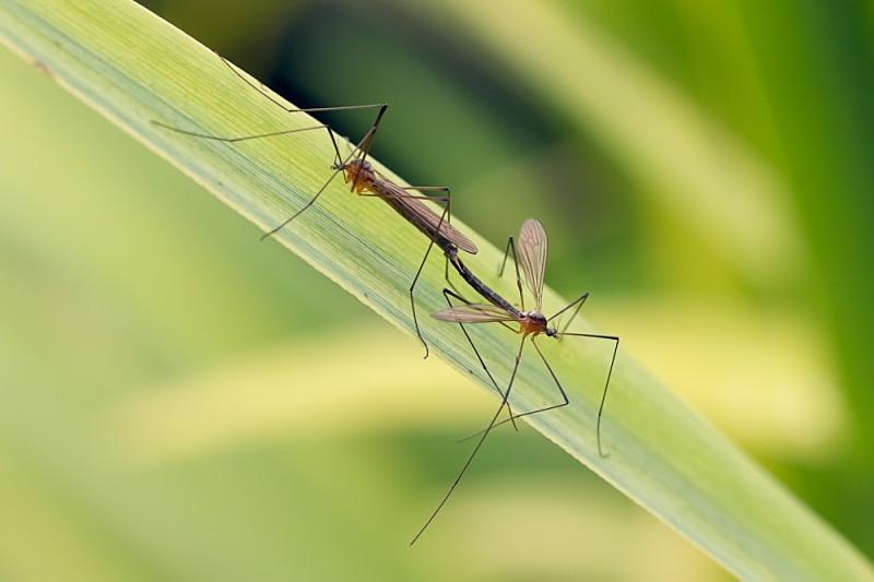 Crane Flies mating - Macro Photography