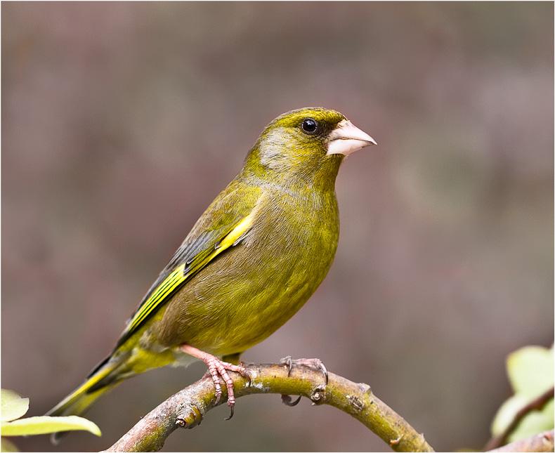 Greenfinch 2 - Garden Birds