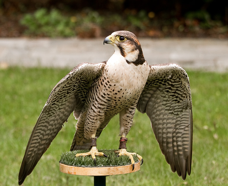 Lanner Falcon - Birds in Captivity
