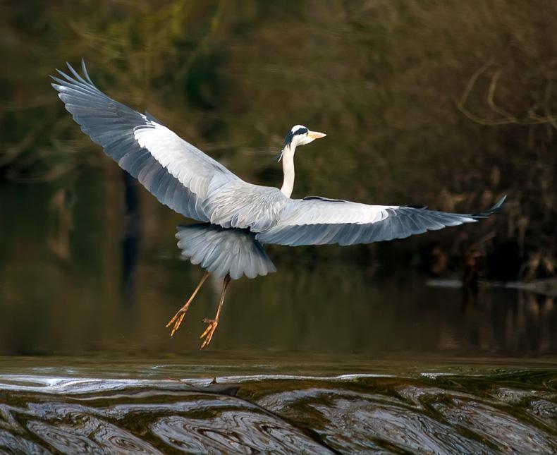 Grey Heron 5179 - Wildlife