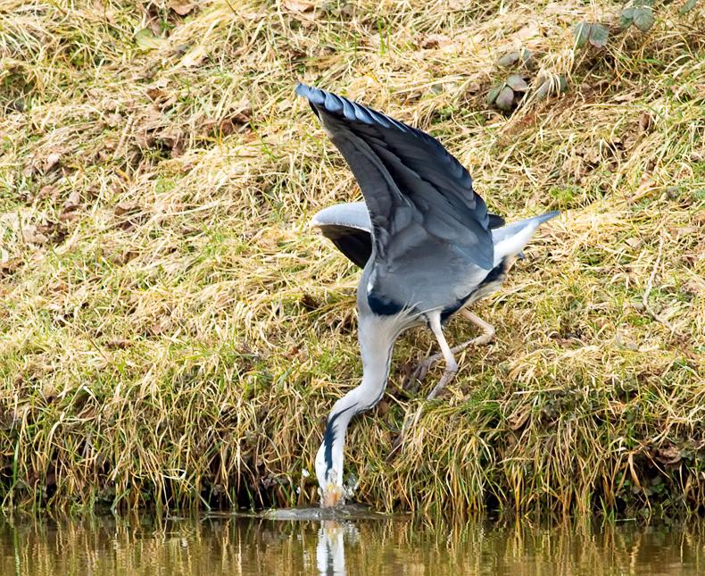 Grey Heron 6700 - Wildlife
