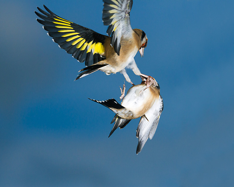 Fighting Goldfinches - Birds in Flight