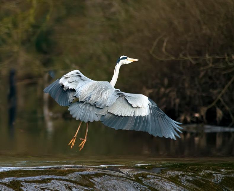 Grey Heron 5180 - Wildlife