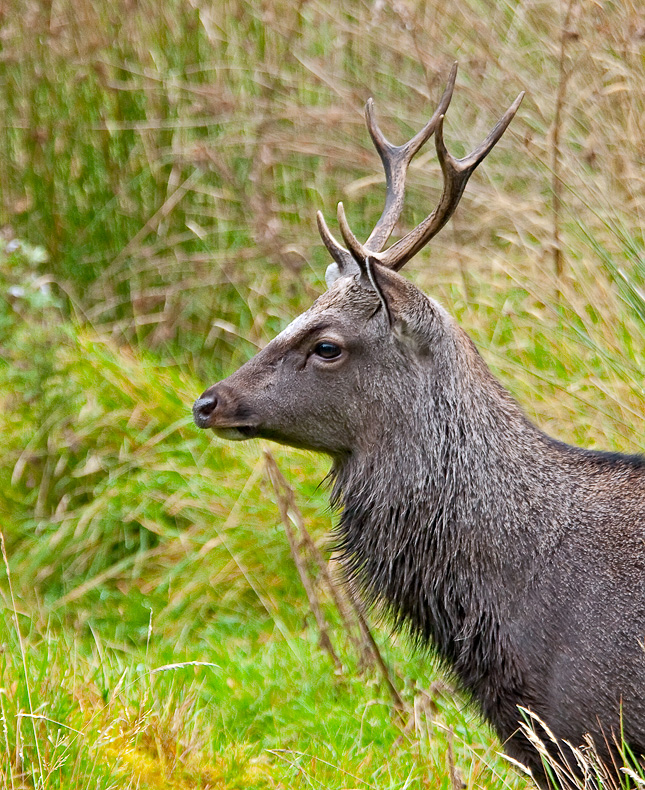 Sika Stag - Animals in Captivity