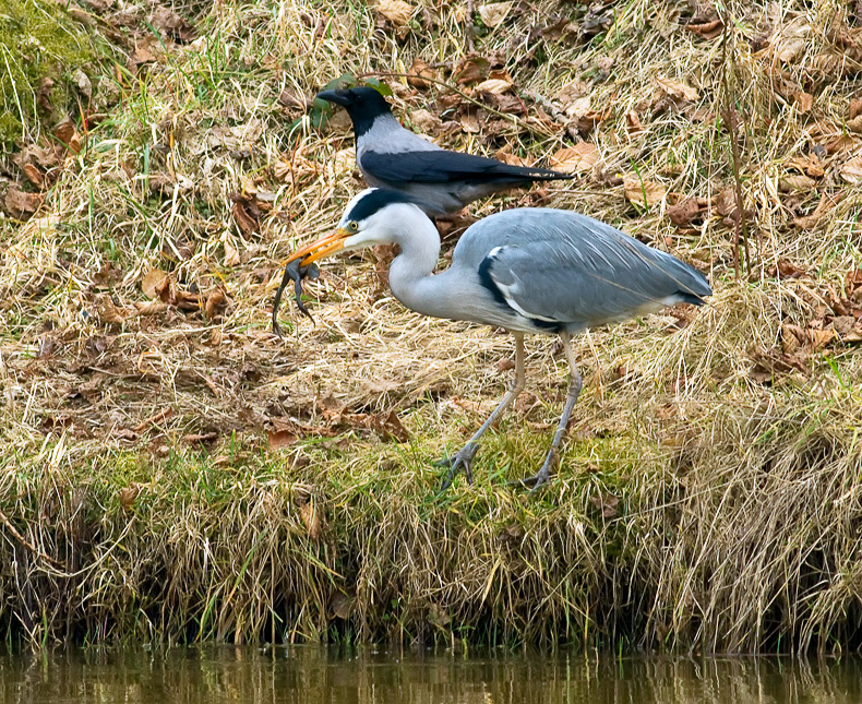 Grey Heron 6767 - Wildlife