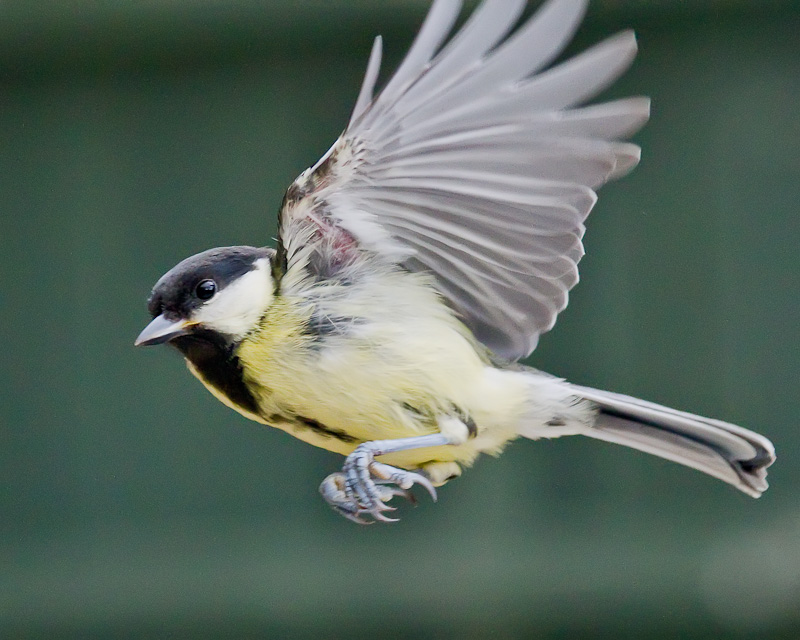Great Tit - Birds in Flight