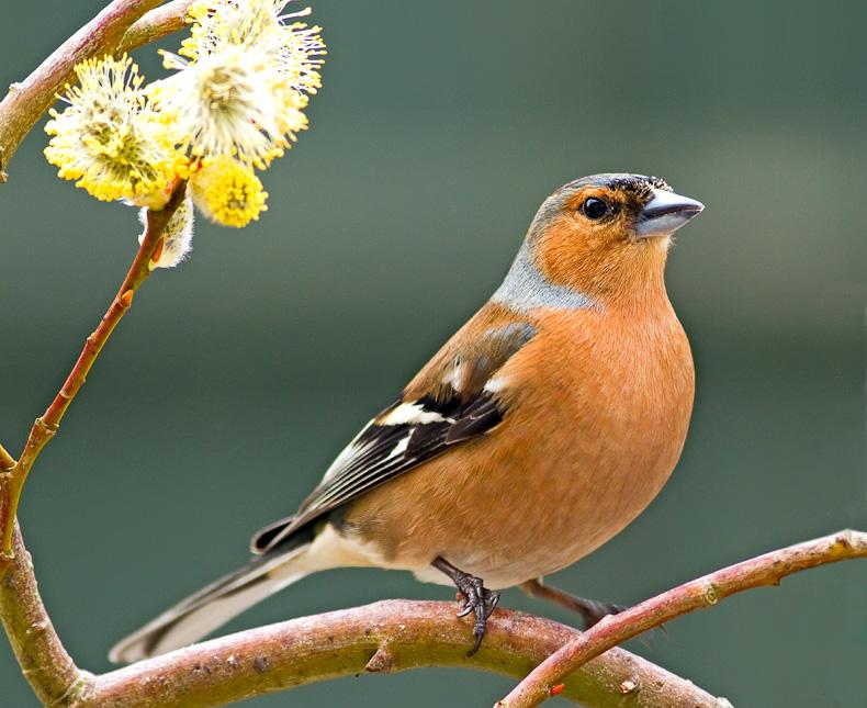 Chaffinch (m) - Garden Birds