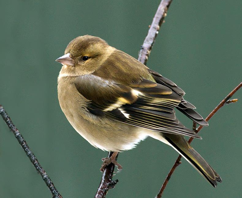 Chaffinch (f) - Garden Birds