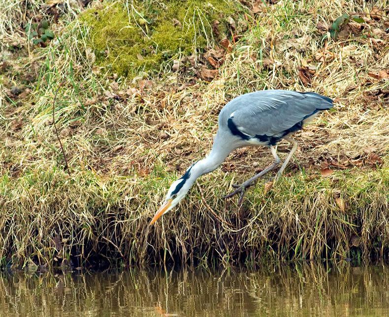 Grey Heron 6670 - Wildlife