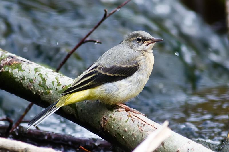 Grey Wagatail (fledgling) 1175 - Wildlife