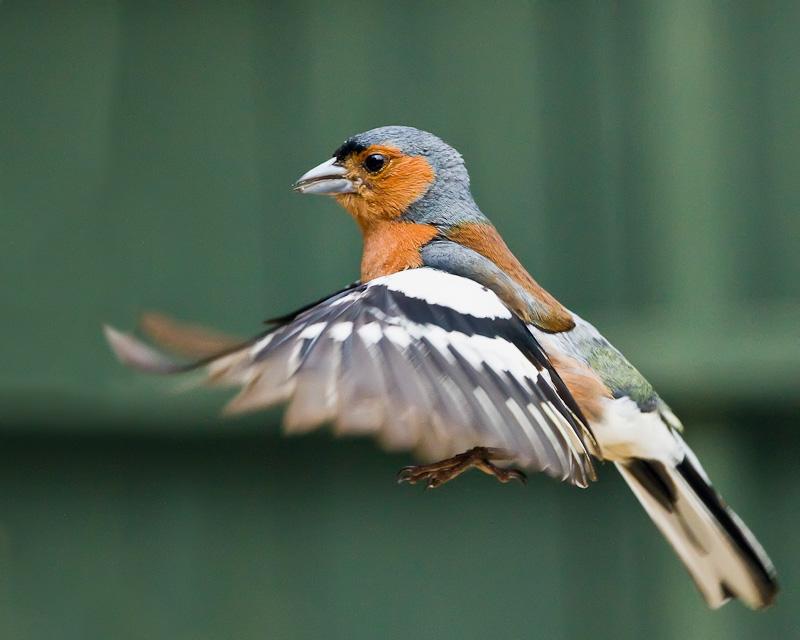 Chaffinch - Birds in Flight