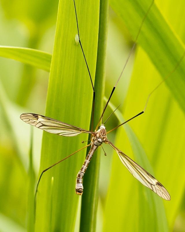 Crane Fly - Macro Photography