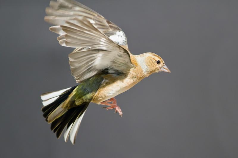 Goldfinch (Juvinile) - Birds in Flight
