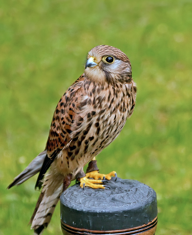 Kestrel - Birds in Captivity
