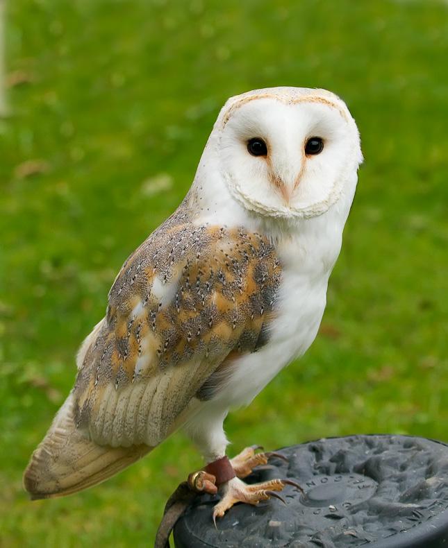 Barn Owl - Birds in Captivity
