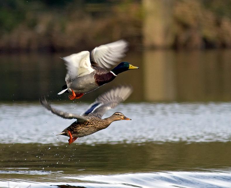 Mallard Pair - Birds in Flight