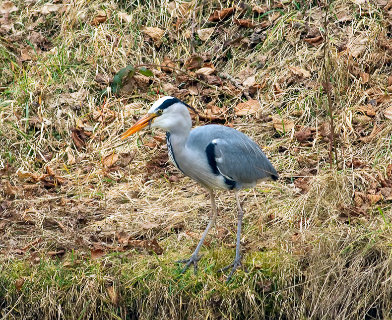 Grey Heron 6771 - Wildlife