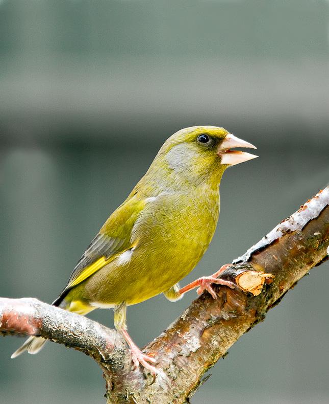 Greenfinch 1 - Garden Birds