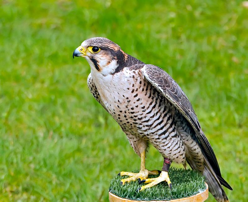 Lanner Falcon - Birds in Captivity