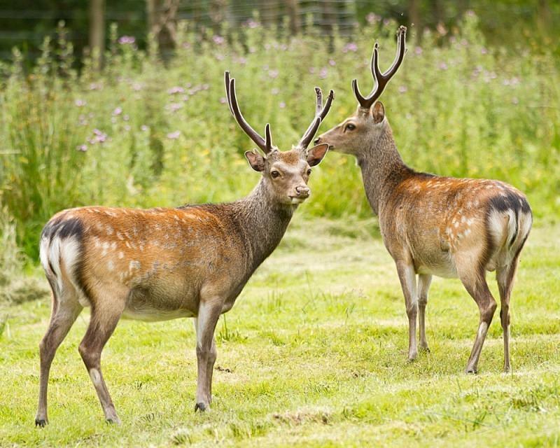 Roe Deer - Animals in Captivity