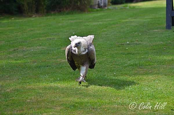 Vulture (© Colin Hill) - Colchester Zoo - Customer Images
