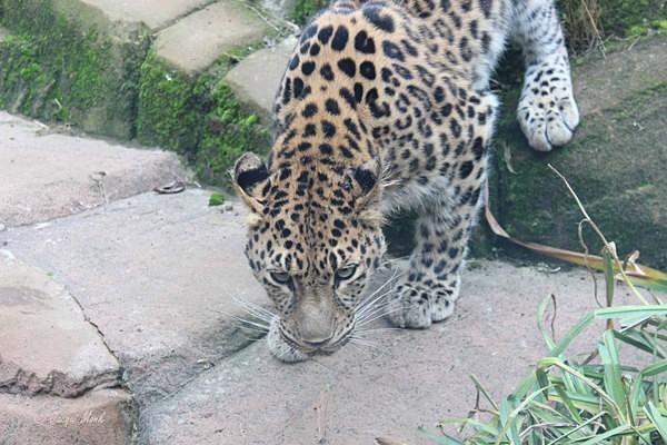 Amur Leopard - Milena (© Jacqui Monk) - Colchester Zoo - Customer Images
