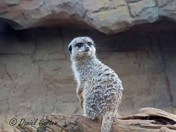 Meerkat (© Daniel Carter) - Colchester Zoo - Customer Images